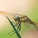 dragonfly by Belinda Cottee