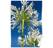 Agapanthus Above Poster