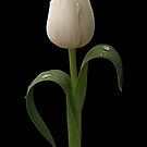White Tulip by Patricia Jacobs CPAGB LRPS BPE3