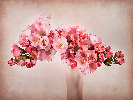 Pink Blossom by Patricia Jacobs DPAGB LRPS BPE4