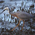 White Faced Heron by Steve Bass