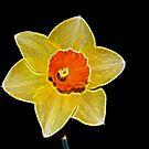 Fractalius Daffodil by Lisa Kent