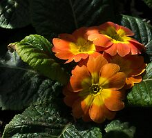 Spotlight on Spring Primula Blooms by Georgia Mizuleva