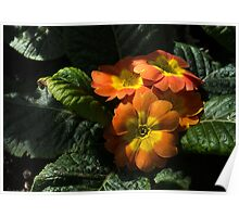 Spotlight on Spring Primula Blooms Poster