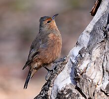 Rufous Tree-creeper_Porongurup National Park WA by Alwyn Simple