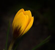 Spring crocus by CaroleImages