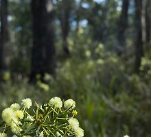 flowering wattle by photoeverywhere
