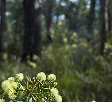 flowering wattle by photoeverywhere