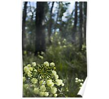 flowering wattle Poster