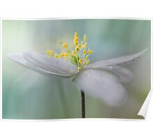 Gorgeous Wood Anemone... Poster