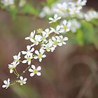 White Blossoms by Bob Hardy