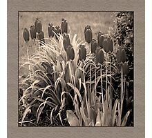 old timey tulips (square) Photographic Print