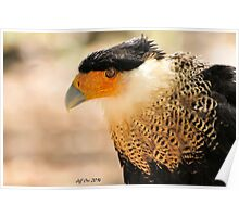 Northern Crested Caracara Poster