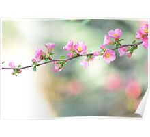 Wild apple blossom Poster