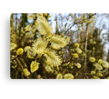 Willow Catkins Canvas Print