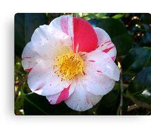 Camellia Show-off Canvas Print