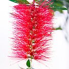 Tropical Red Bottlebrush Flower by daphsam