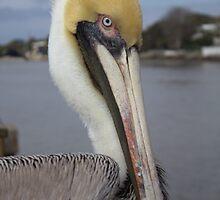 Pelican by Michael McCasland