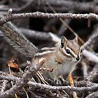Cheeky Chipmunk by Ann  Van Breemen