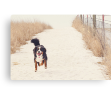Run, Berner, Run! Canvas Print