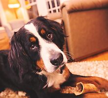 Sweet Bernese Mountain Dog by TheJill