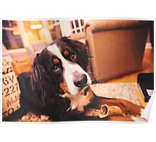 Sweet Bernese Mountain Dog Poster