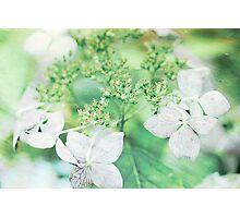 Pink Lacecap Hydrangea Flower Photographic Print