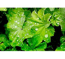 Lady's Mantle Flower Photographic Print