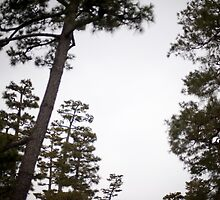 japanese pine trees by photoeverywhere