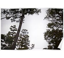 japanese pine trees Poster