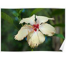 Beautiful yellow hibiscus flower Poster