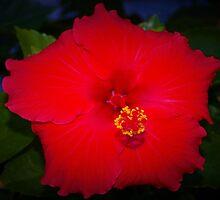 Pentagonal hibiscus by ♥⊱ B. Randi Bailey