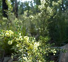 wattle flowers by photoeverywhere