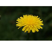 Yellow dandelion Photographic Print