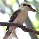 kookaburra  by Aden Brown