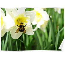 Queen Bee in a Daffodil Poster