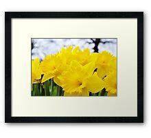 Daffodils Forever Framed Print