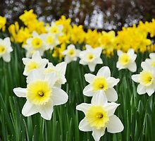 Field of Daffodils by Jessica Reilly