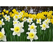 Field of Daffodils Photographic Print