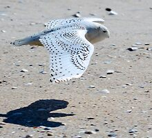 Snowy Owl at Jones Beach by LisaThomasPhoto