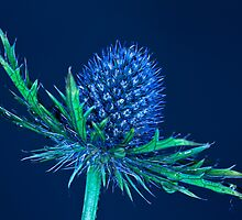 Eryngium Oliverianum by Brian Avery