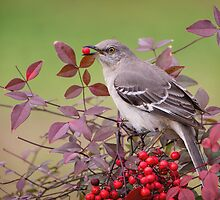 Mockingbird in Nandina by Bonnie T.  Barry
