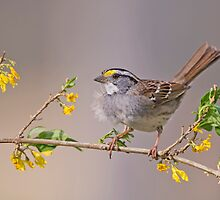 White Throated Sparrow in Spring by Bonnie T.  Barry