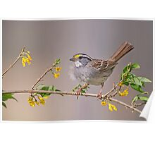 White Throated Sparrow in Spring Poster