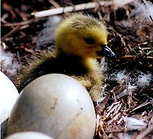 Baby swan in the nest..I wish I could fly by jammingene
