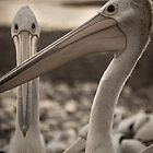 Pelicans by Karen Duffy