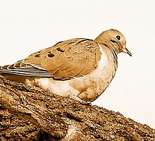 Dove by Irfan Gillani