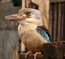 kookaburra 2 by Nicola Morgan