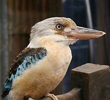 Kookaburra 3 by Nicola Morgan