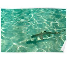 Blacktip reef shark in shallow water Poster